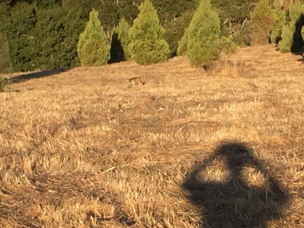 Mountain Lions: Who's seen one?-img_4580.jpg