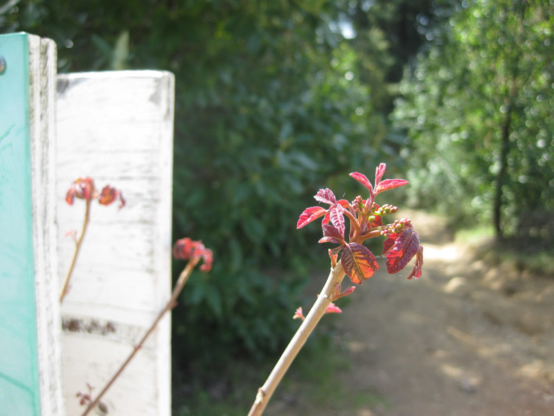 Poison Oak shoots