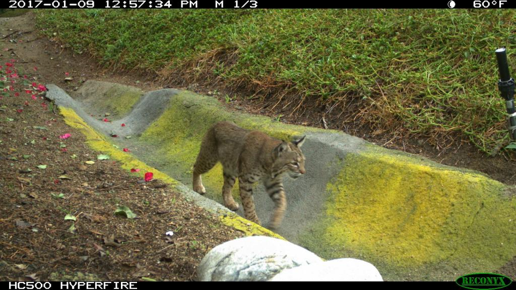 Mountain Lions: Why don't they attack trail riders more often?-img_9461.jpg