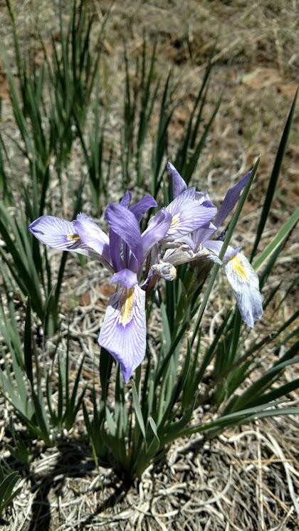 Botany Thread-iris2_zpsuot0g3ma.jpg