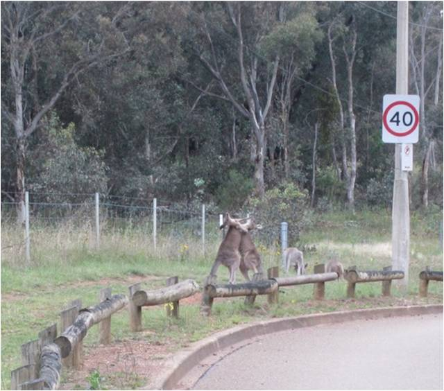 Wildlife you have seen on trail...post your pics...-kangaroos.jpg