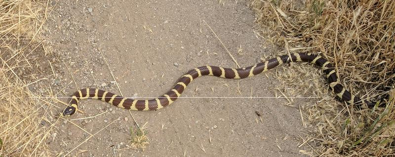 Who's run over a Rattler?  now that its snake season-king.jpg