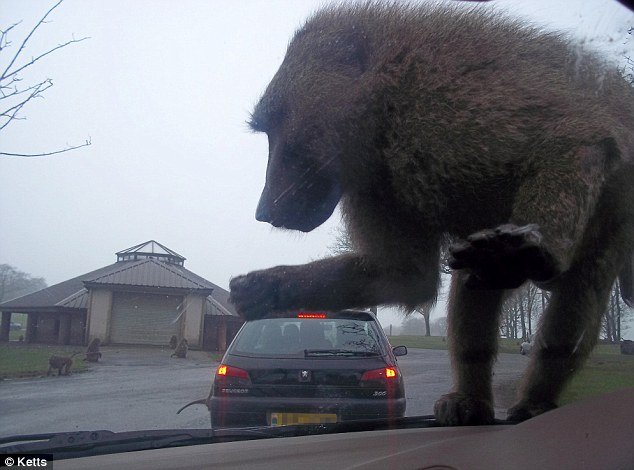 Full-Body Armor Required-king-kong-photographers-optical-illusion-captures-gigantic-baboon-crushing-car-1.jpg
