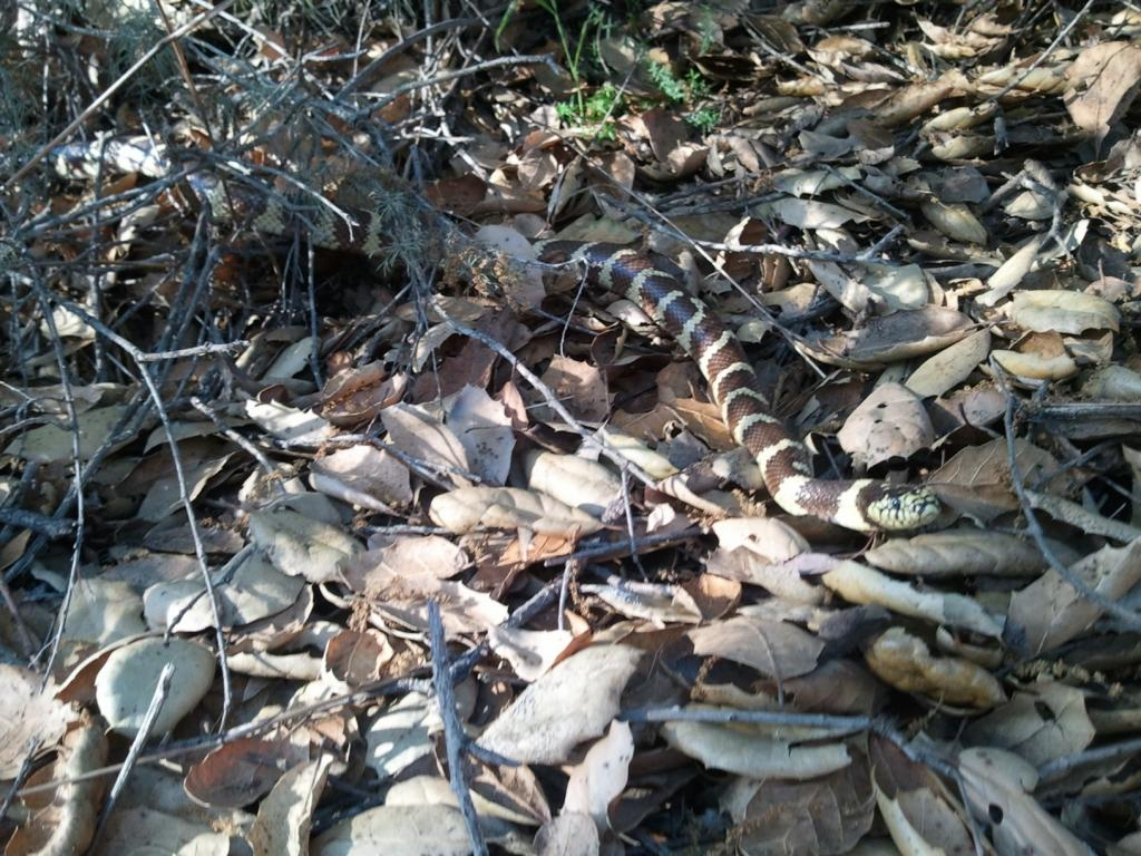 Wildlife you have seen on trail...post your pics...-kingsnake.jpg
