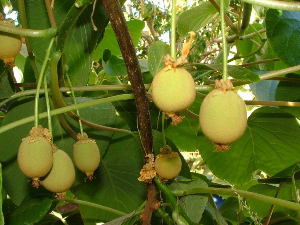 Vegetarian and Vegan Passion-kiwifruit-sweetie-female-3119.jpg