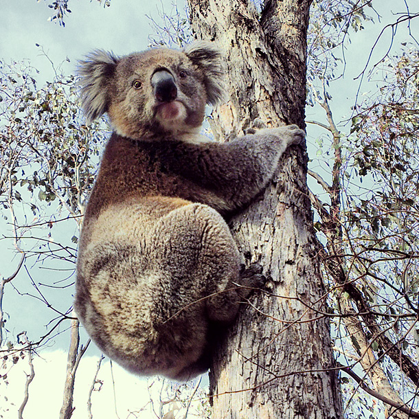 Wildlife you have seen on trail...post your pics...-koala-610.jpg