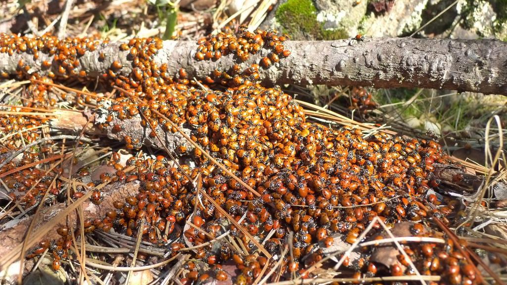South Yuba scenery-ladybugs-.jpg