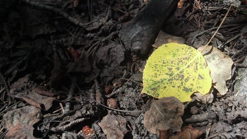 As the Aspens turn...-leaf.jpg