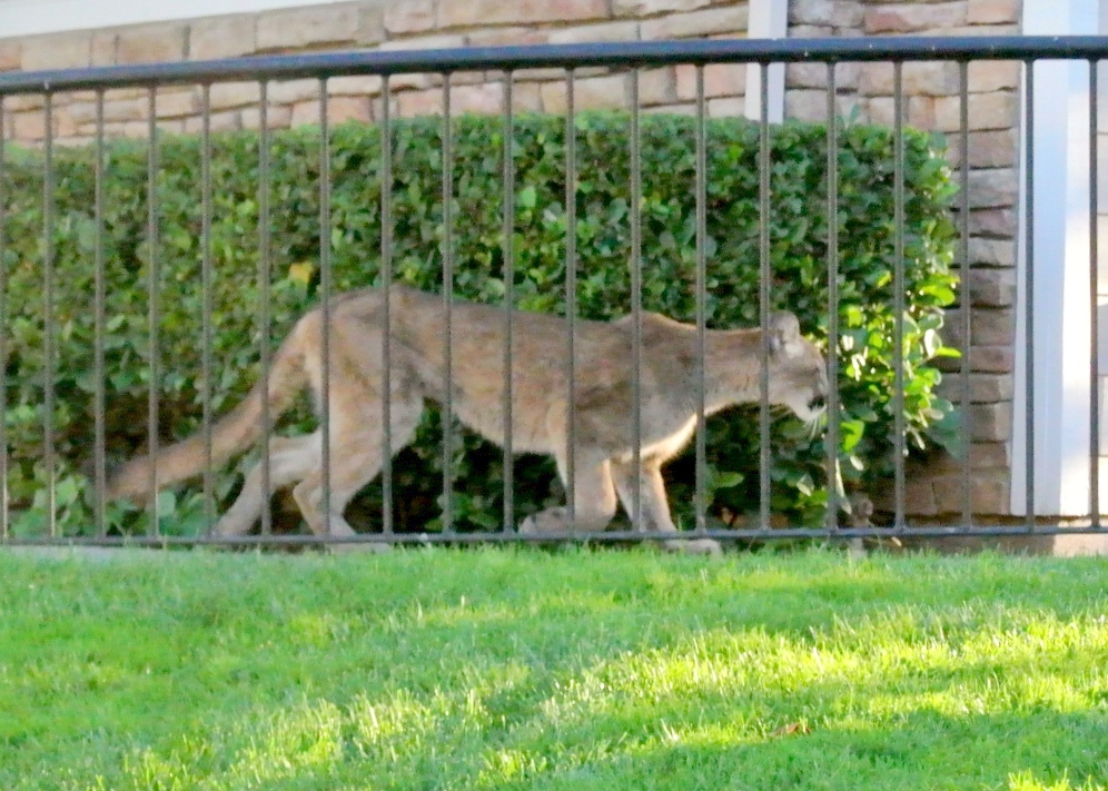 Has this cougar checked you out before?-lion-10-19-2012.jpg
