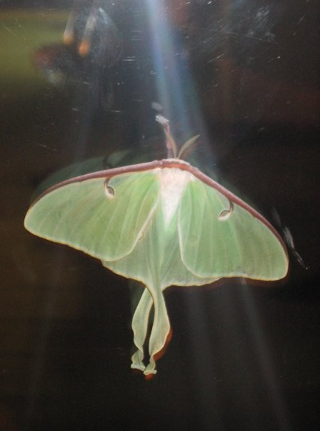 Bugs / Insects-luna-moth.jpg