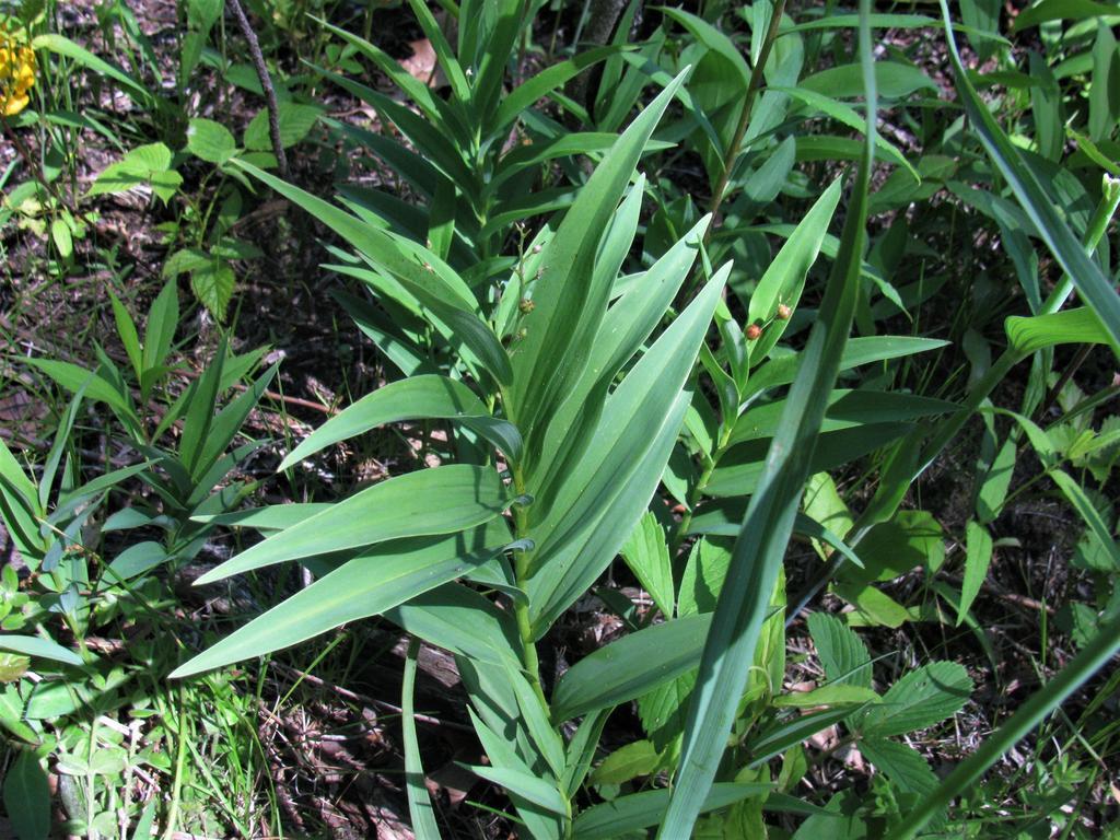 Botany Thread-maianthemum-stellatum.jpg