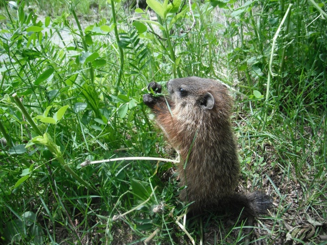 Wildlife you have seen on trail...post your pics...-marmot1-640x480-.jpg