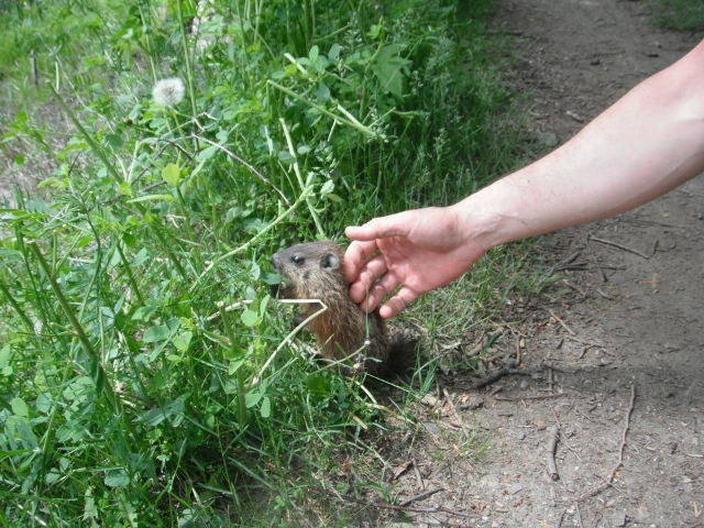 Wildlife you have seen on trail...post your pics...-marmot2-640x480-.jpg