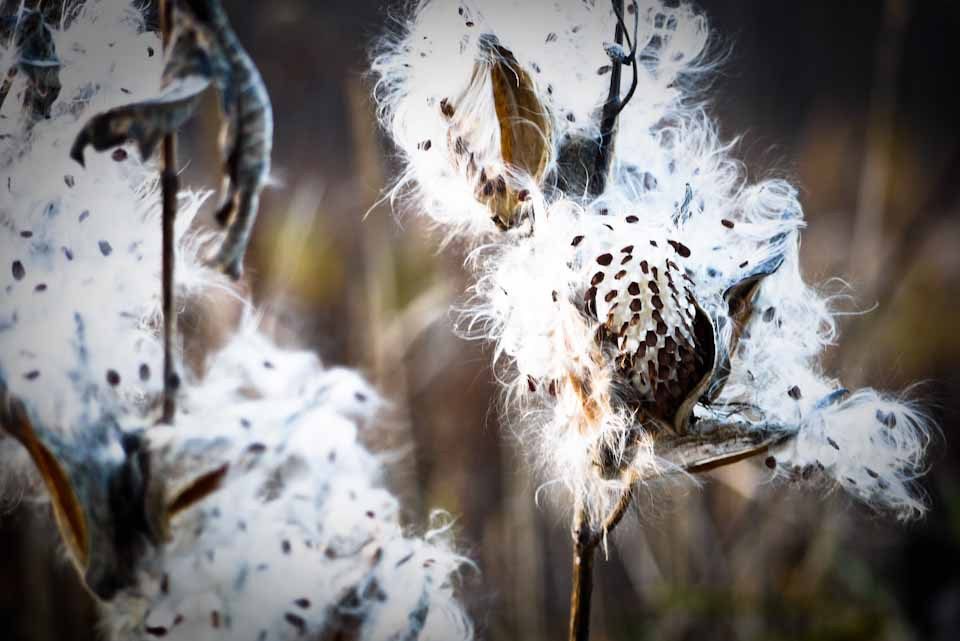 Photo Friday - Black Friday Edition-milkweed.jpg