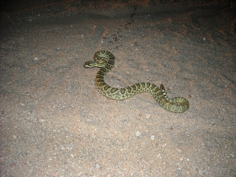 Snakes, snakes...and more snakes-mohave-green-rattler.jpg