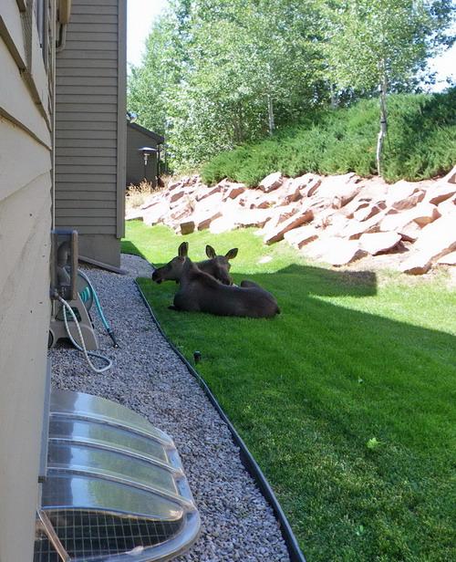 animal encounters-moose-shade-resize.jpg
