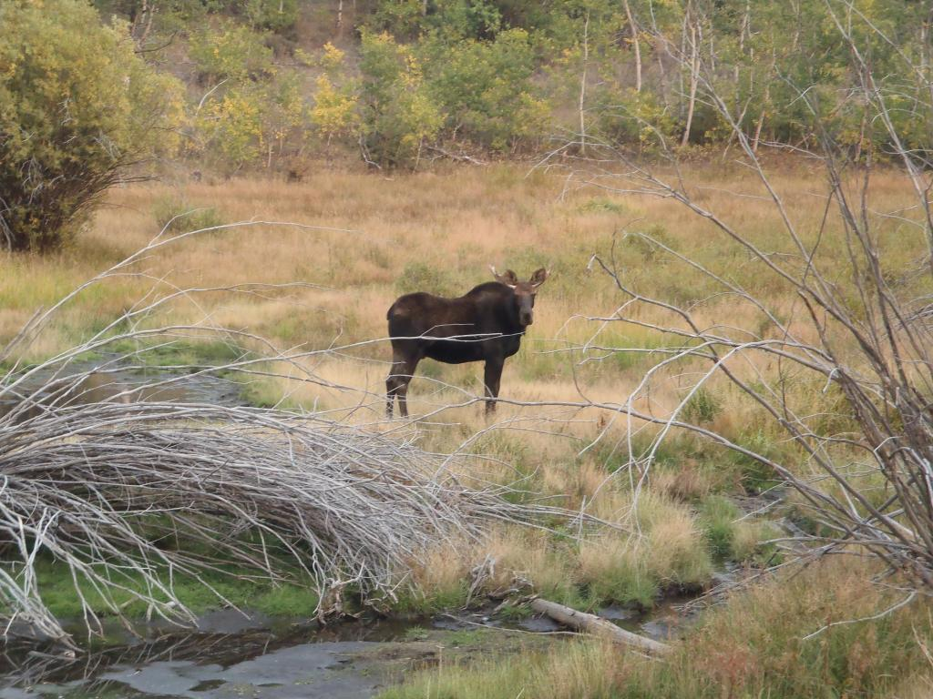 Wildlife you have seen on trail...post your pics...-moose.jpg