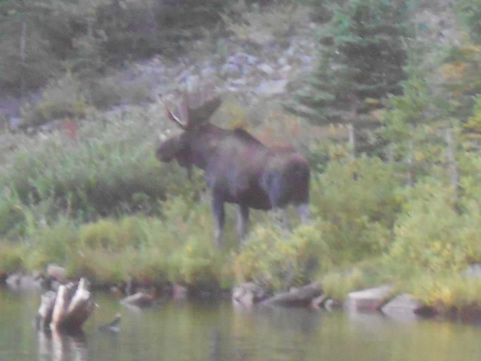 saw a bull moose up on School Bus yesterday-moose4.jpg