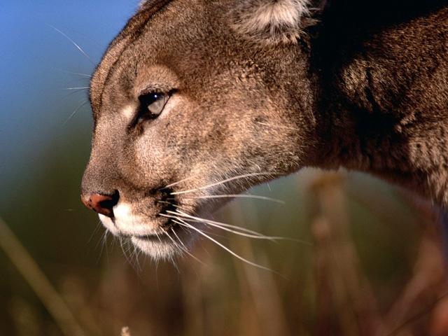 Mule Deer in MMP-mountain-lion.jpeg