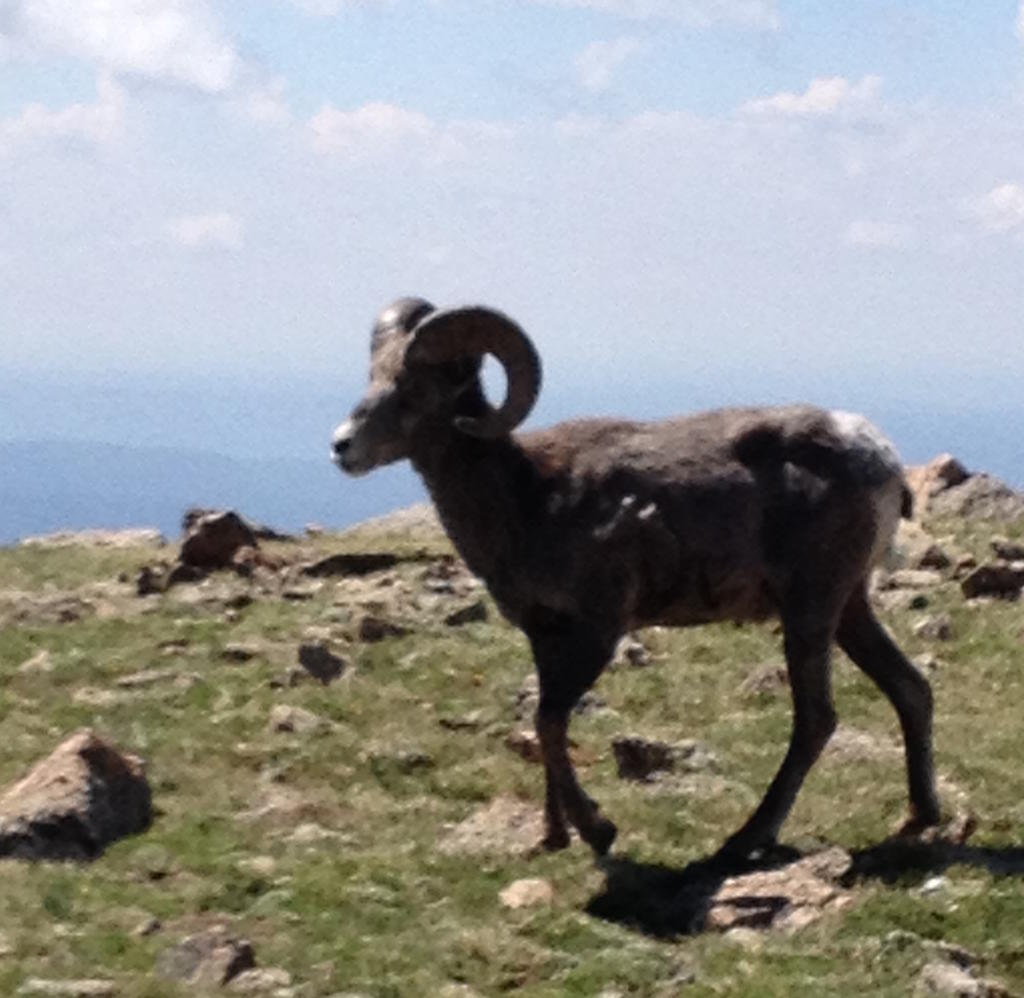 animal encounters-mt-goat.jpg