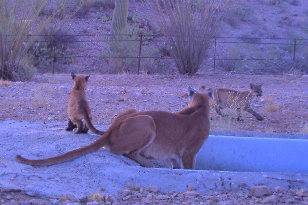 Wildlife-mtn_lion_whi_tanks_9-09_b_.jpg