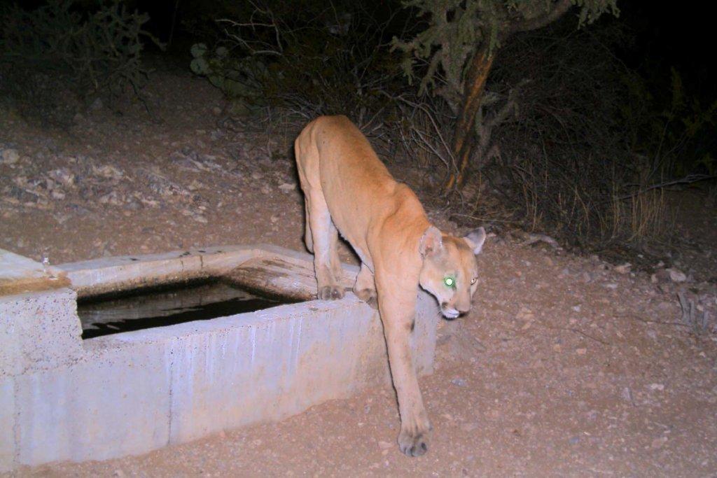 Wildlife-mtn_lion_whi_tanks_9-09_c_.jpg