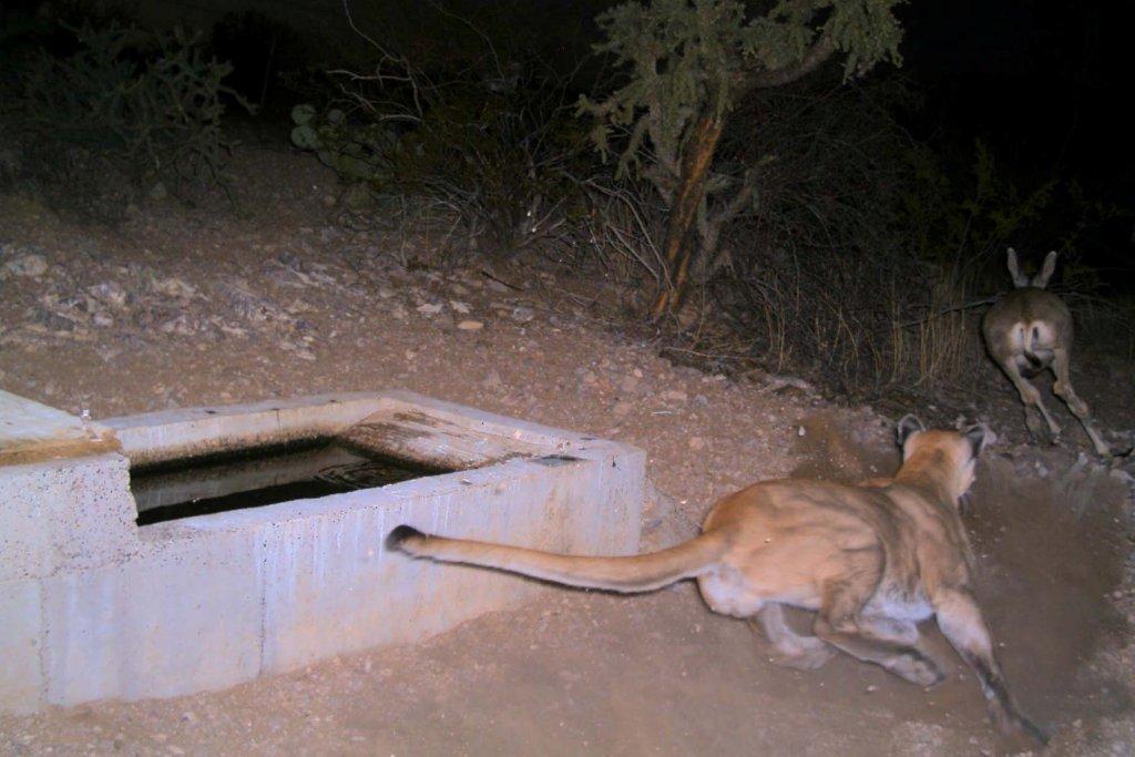 Wildlife-mtn_lion_whi_tanks_9-09_d.jpg