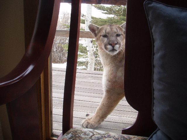 Prescott Kitty Cat-mtnlion1.jpg