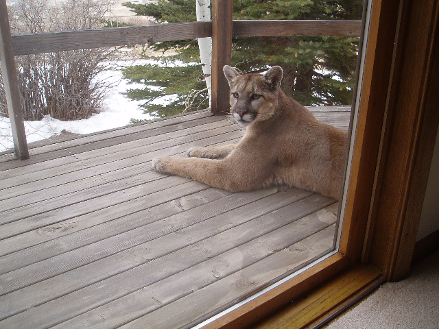 Prescott Kitty Cat-mtnlion2.jpg