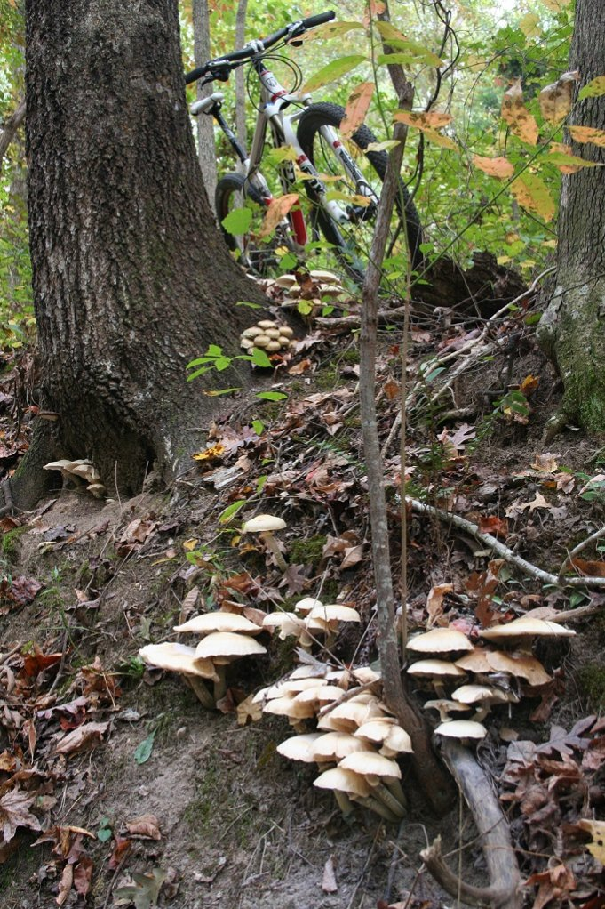 Mushrooms....Post your pics...-mushroomgrove2.jpg
