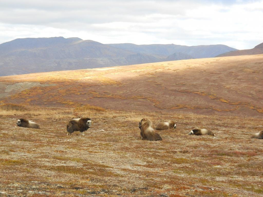 Wildlife you have seen on trail...post your pics...-musk-oxen-2.jpg