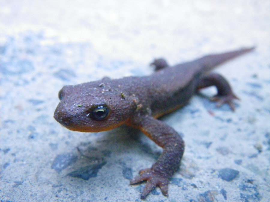 Wildlife you have seen on trail...post your pics...-northwestern-salamander-aug-5th-2011-001.jpg