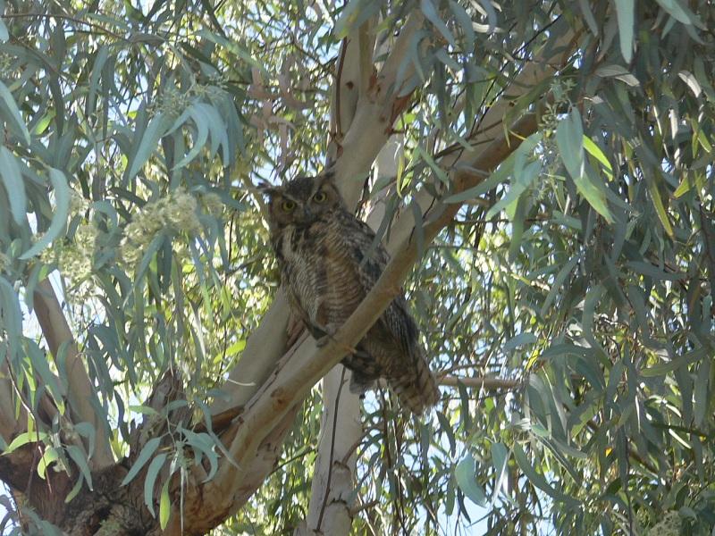 AZ Photo Friday - Aug. 10th-owl14.jpg