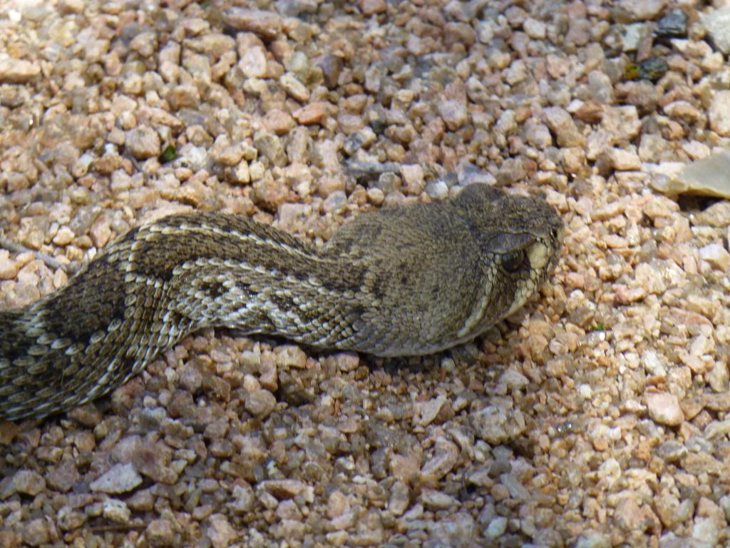 Rattlesnakes!!!!!!-p1030004_zpsc5b60ad0.jpg