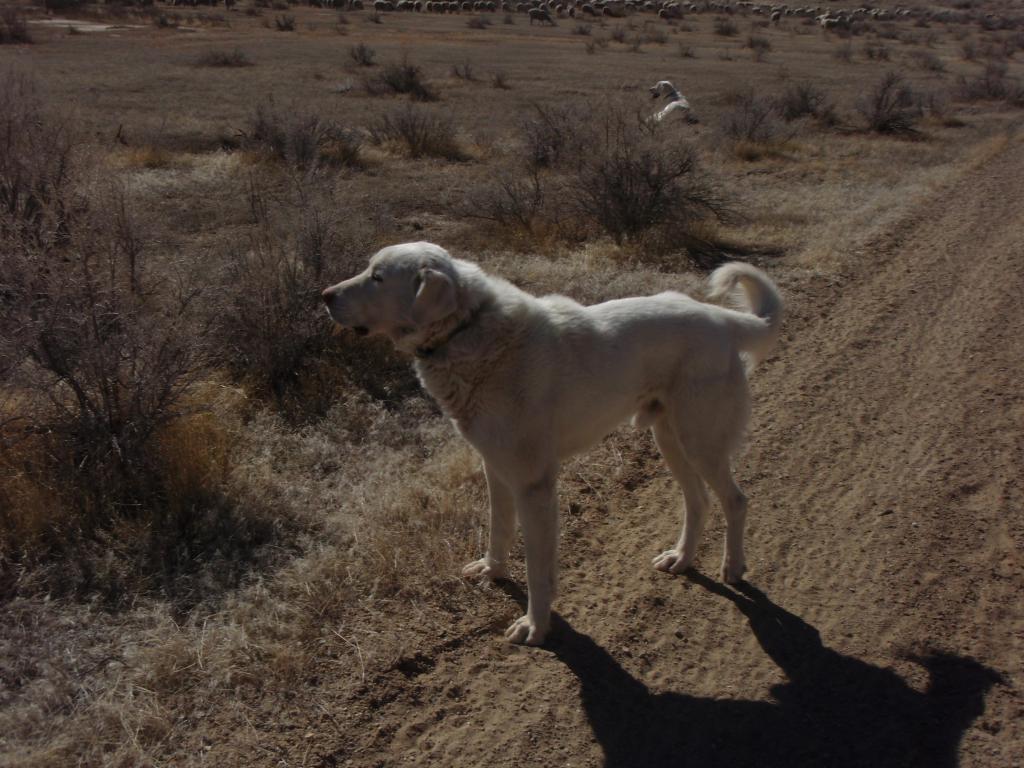 Sheep Guard Dogs and Mountain Bikers-p2250001.jpg