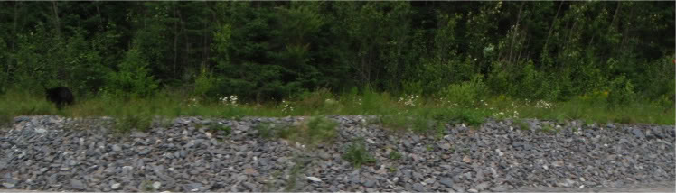 Bear Sighted in Milton-p8012015.jpg
