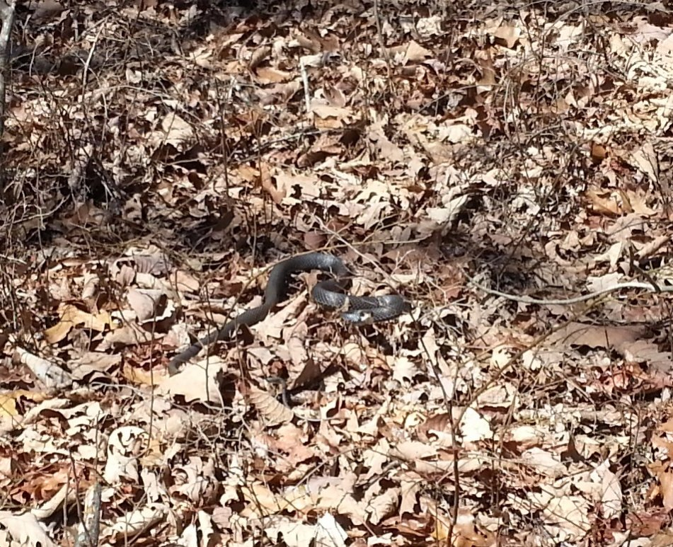 Wildlife you have seen on trail...post your pics...-parismountain_blacksnake_022113.jpg
