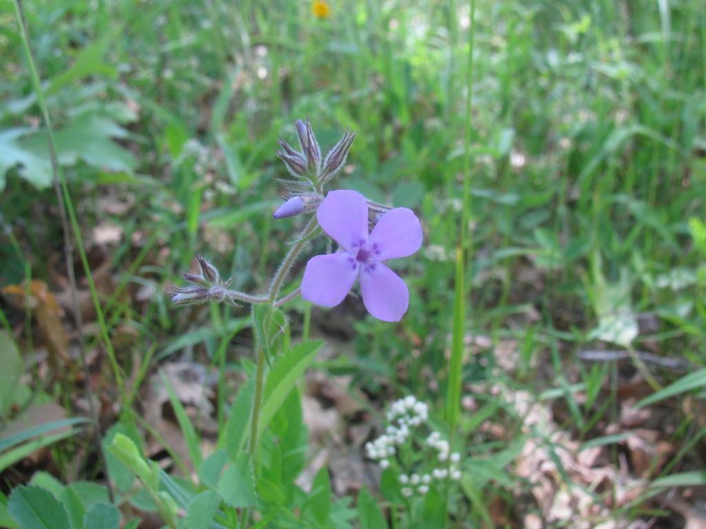 Botany Thread-phlox-pilosa.jpg