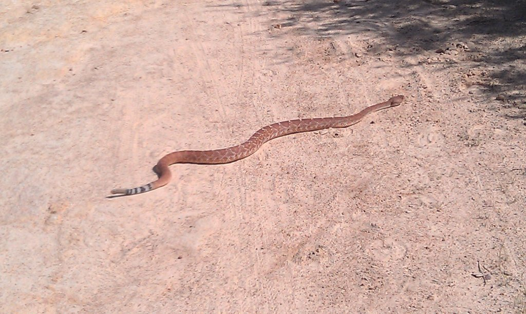 Who's run over a Rattler?  now that its snake season-photo-10.jpg