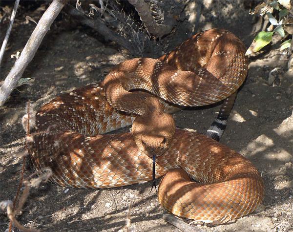 Mountain Biker Vs Rattlesnake-picture-137.jpg