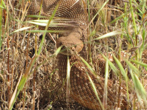Mountain Biker Vs Rattlesnake-picture-683-1.jpg