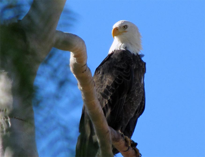 bald eagle (inland empire)-picture-975-copy-1.jpg