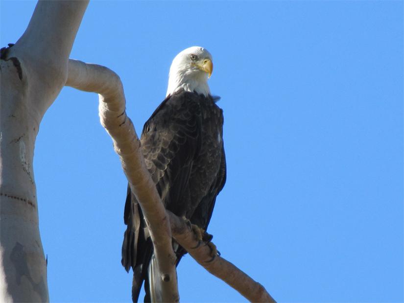 bald eagle (inland empire)-picture-982-copy-1.jpg