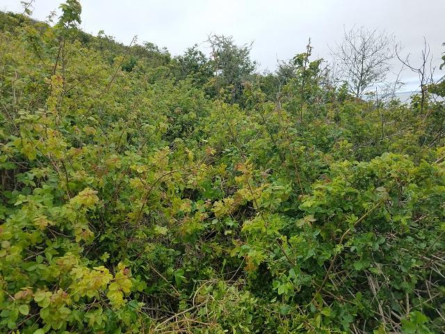Poison oak is out in force-poisonoakresize2.jpg