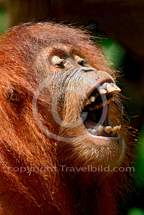 Vegetarian and Vegan Passion-pongo-pygmaeus-orang-utan-16.jpg