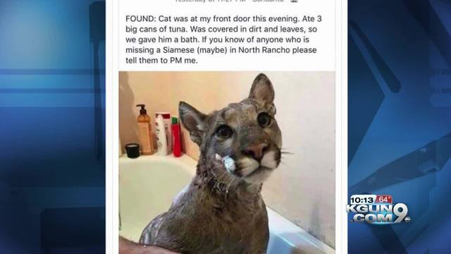Mountain Lions: Who's seen one?-poster_5442be13fd4f410f8fe0c2a76097a05a_73344856_ver1.0_640_480.jpg