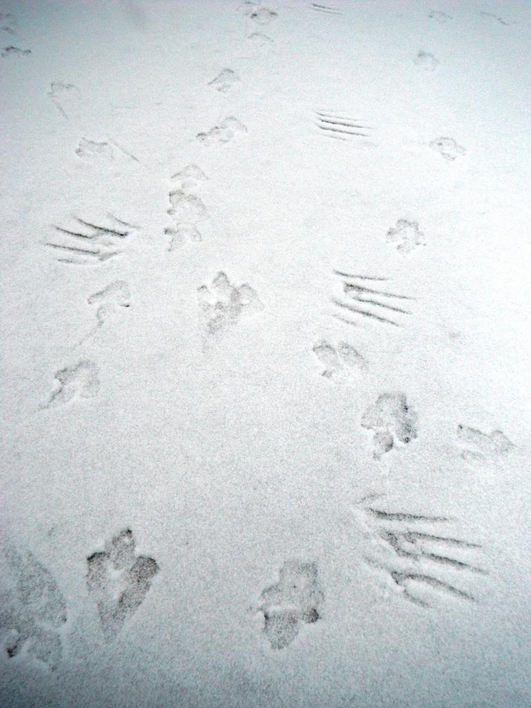 Wildlife you have seen on trail...post your pics...-ptarmigan-wing-footprints.jpg