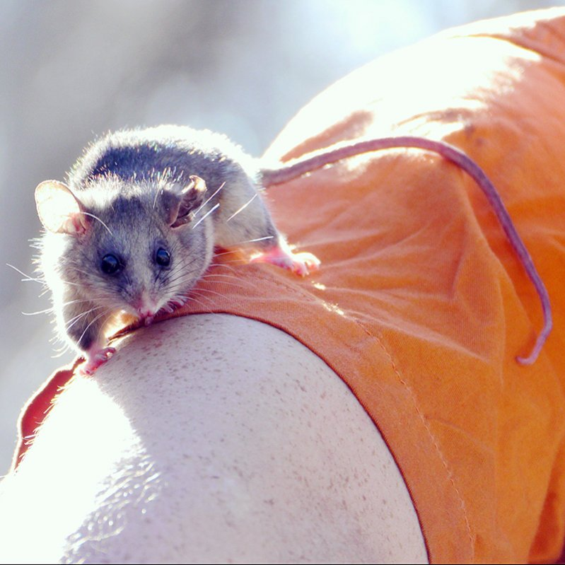 Wildlife you have seen on trail...post your pics...-pygmy-possum-burramys-parvus-mount-buller.jpg