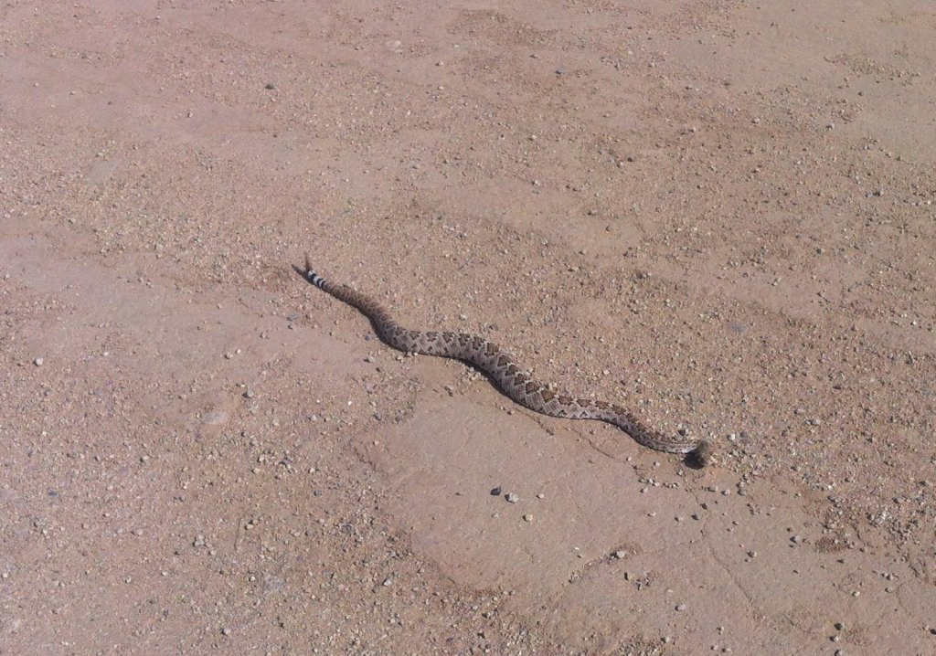 Wildlife you have seen on trail...post your pics...-rattler-may-14.jpg