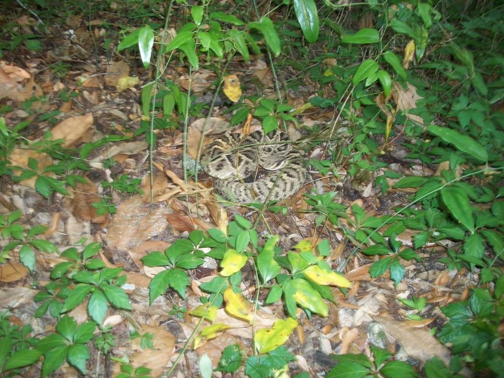 Almost Ran Over A Rattler on Vortex!-rattlesnake-05102011-cowbone.jpg